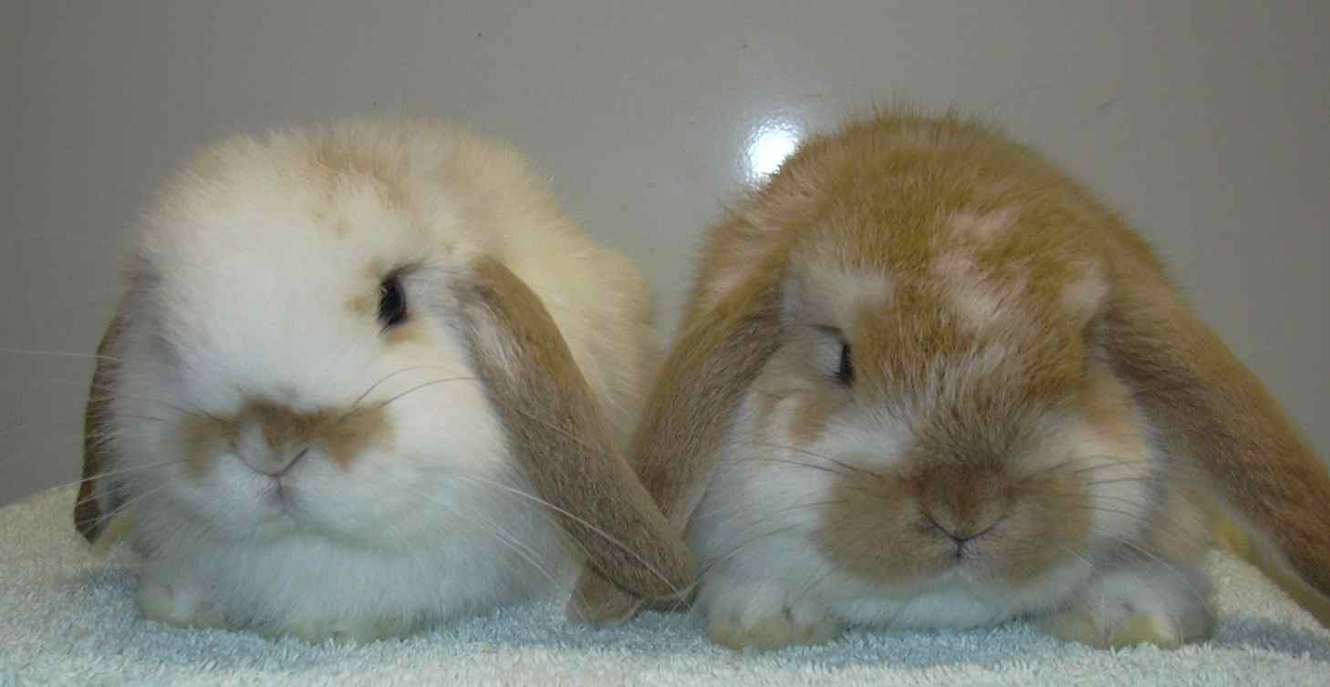 baby mini lop rabbit, baby dwarf lop rabbit, baby German lop rabbit